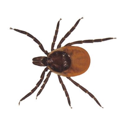 Female Deer or Lyme Tick (Ixodes dammmini). LM X7